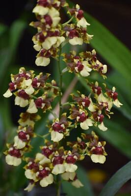 AU14 • Buy RON Oncidium Orchid Onc. Space Race 'Coco' Near Flowering Size