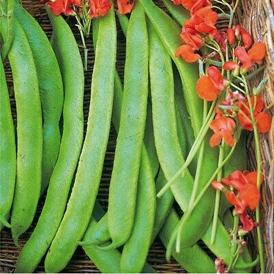 RUNNER BEAN - Lady Di Seeds 40  Heavy Yield Quality Seed Fast Free Delivery • 3.79£