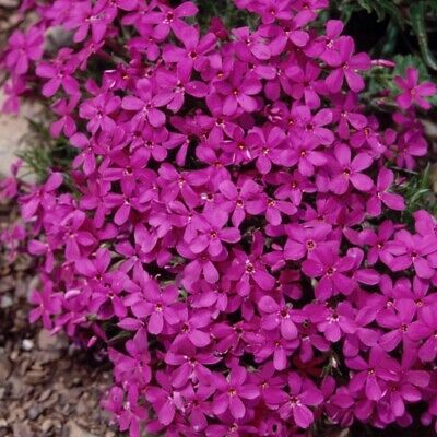 3x Phlox Douglasii Crackerjack Hardy Perennial Flower Plug Plants Well Rooted • 7.99£
