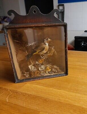 Victorian Antique Taxidermy Bird Goldfinch In Wooden Glass Fronted Hanging Case  • 51£