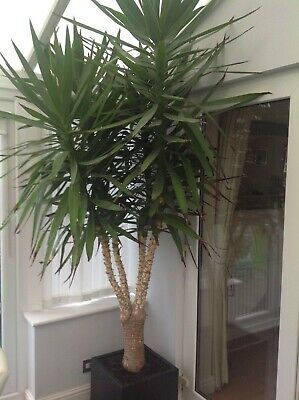Very Large Indoor Yucca Plant • 100£