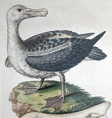 £413.55 • Buy George Edwards  Albatross  ~ 18th Century Hand-colored Engraving