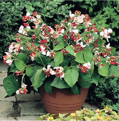 RUNNER BEAN SEEDS - Hestia Pot Balcony 25 And French Beans Dwarf  The Prince 30  • 3.49£