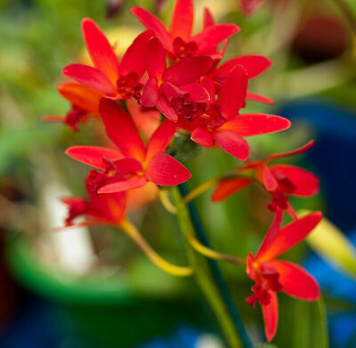 AU10 • Buy RON Orchid Cattleya Ctt. Trick Or Treat X Ctt. Hsiang-Yu Red Pearl 50mm HYBRID