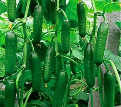 Easy to grow Bush// Dwarf Cucumber /'Dar/' Seeds in pots or gardens.UK Seller
