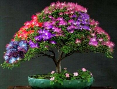 £2.99 • Buy 20 Pcs Albizzia Julibrissin Silk Tree Seeds Exotic Hardy Tree Ideal For Bonsais