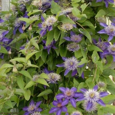 Clematis Multi-Blue 1 X 9cm Potted Plant • 3.99£