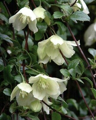 Clematis 'Cirrhosa Wisley Cream' A 'Winter Beauty' Plant In Pic's 2&3 Easy Grow. • 4.70£