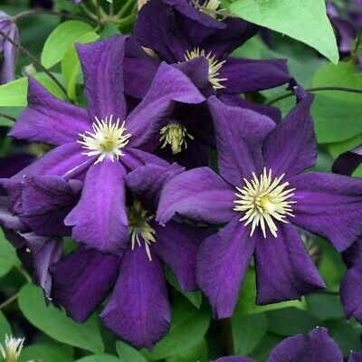 Clematis 'romantika' Deep Dark Purple Fast & Easy Climber. Plant In Pic's 2&3 • 1£
