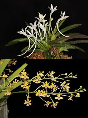 AU130 • Buy RON Orchid FLASK Neof. Falcata X V. Testacea HYBRID APPROX 40 PLANTS
