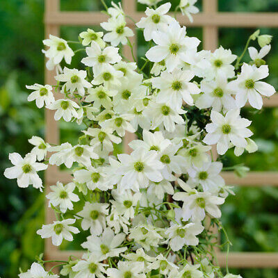 £16.99 • Buy Clematis Evergreen  Early Sensation  Tripod In A 15cm Pot