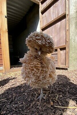 £18 • Buy 6 X Poland/Polish Bantam Chicken Hatching Eggs, Frizzle And Smooth