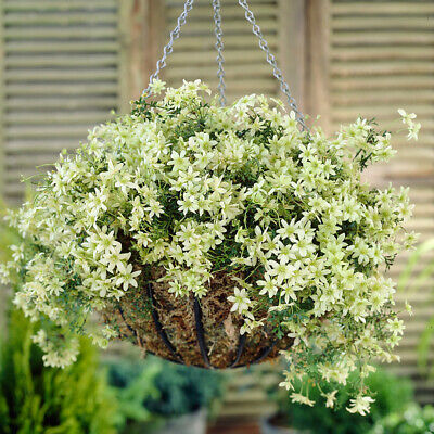 £14.99 • Buy Clematis Evergreen  Pixie  Tripod In A 15cm Pot