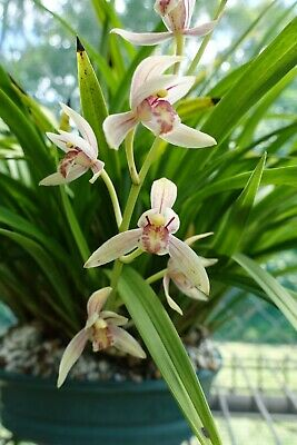 AU21.50 • Buy Cymbidium Orchid - Cymbidium Ensifolium (Species)