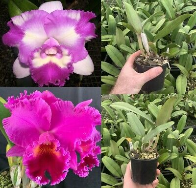AU25 • Buy RON Cattleya Orchid Island Charm X Midnight Delight 100mm Pot Flowering Size
