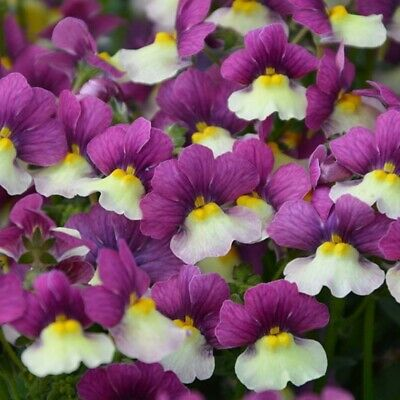 £6.99 • Buy 3x Nemesia Fairy Kisses Vanilla Berry Flower Well Rooted Plug Plant Basket Pots