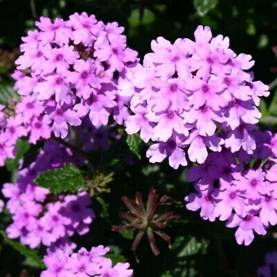 £7.99 • Buy 3x Verbena Seabrook's Lavender Hardy Perennial Flower Well Rooted Plug Plants