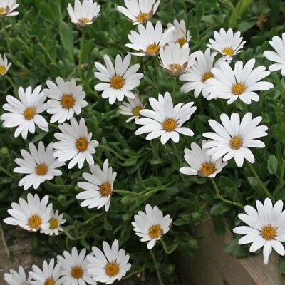 £8.99 • Buy Osteospermum Snow Pixie Daisy Flowers Well Rooted Plug Plants Pots Or Borders