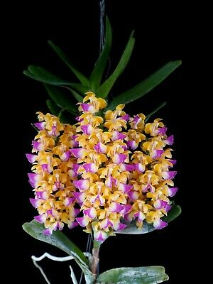 AU16 • Buy RON Orchid Aerides Aer. Houlletiana SPECIES 40mm Pot Size HARD TO FIND