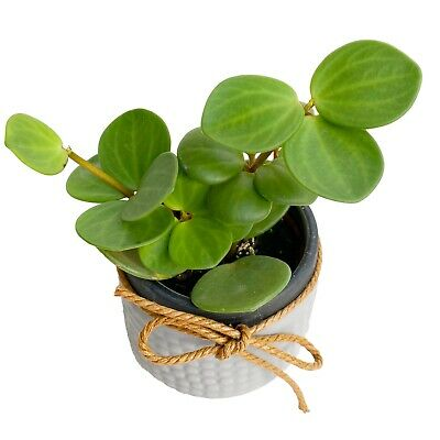£8.55 • Buy Peperomia Hope In 6cm Pot Trailing Succulent House Plant