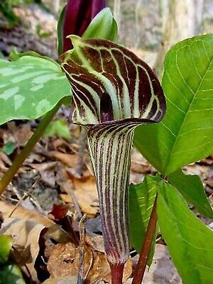 £8.50 • Buy 5 Jack In The Pulpit Bulbs Plant Organic Arisaema Triphyllum Indian Turnip Plant