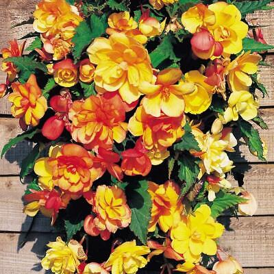 £10.95 • Buy 2 X Begonia Apricot Shades Trailing Plants In 7cm Pots For Baskets & Containers