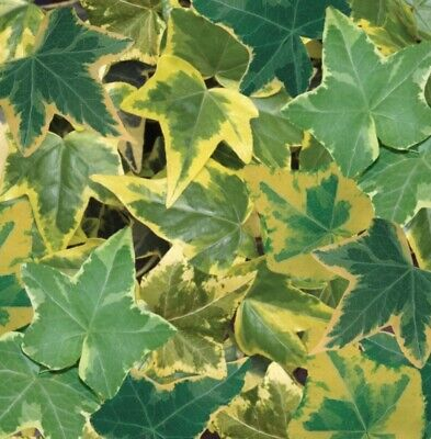 £6.99 • Buy Hedera Helix Gold Trailing Ivy Well Rooted Plug Plants
