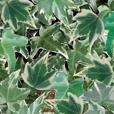 £8.99 • Buy Hedera Helix Silver Trailing Ivy Well Rooted Plug Plant