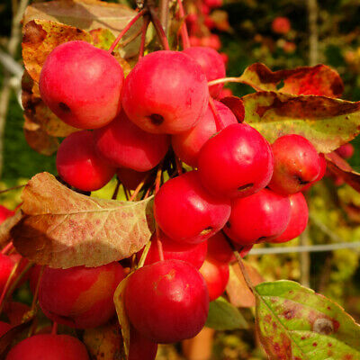 £29.99 • Buy Crab Apple 'Red Sentinel' Standard Patio Fruit Tree In A 3L Pot 90cm Tall