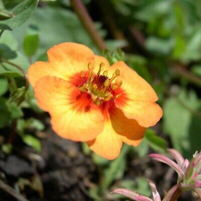 £8.99 • Buy 3x Potentilla Tonguei Cinquefoil Hardy Perennial Flower Well Rooted Plug Plants