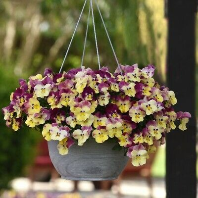 £19.99 • Buy Pansy Speed Planter For Hanging Baskets Pregrown Autumn Trailing Plants 30cm