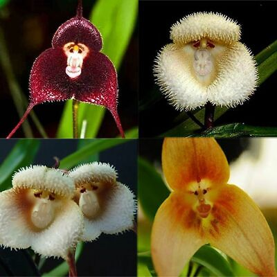 AU4.26 • Buy 50Pcs Monkey Face Orchids Flower Seeds Rare 3 Kind Funny Home Garden Perennial