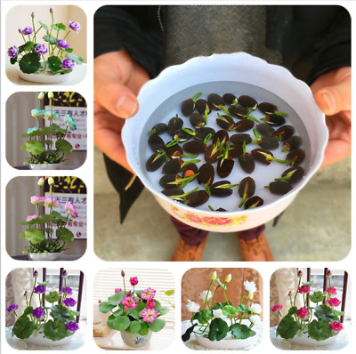 $ CDN6.33 • Buy 10Pcs Lotus Flower Seeds Rare 6 Kind Water Plant Bonsai Hydroponic Garden