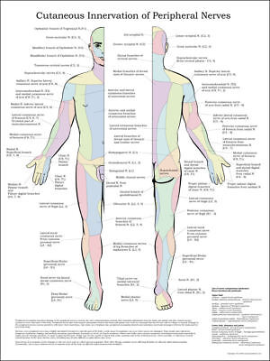 $30 • Buy Cutaneous Innervation Of Peripheral Nerves Poster 24  X 32  Medical Chart