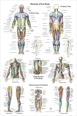 $32 • Buy Anterior, Posterior Muscle Anatomy Poster 24  X 36  Medical Anatomical Chart