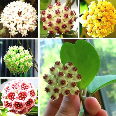 AU3.85 • Buy 100Pcs Orchid Ball Flower Seeds Rare White Bonsai Perennial Plant For Garden
