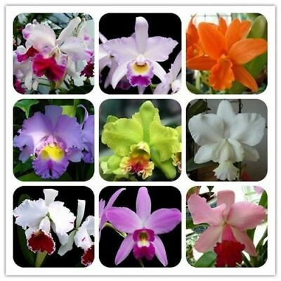 AU4.26 • Buy 30Pcs Orchids Cattleya Flower Seeds Rare 8 Kind Biennial Plant For For Garden