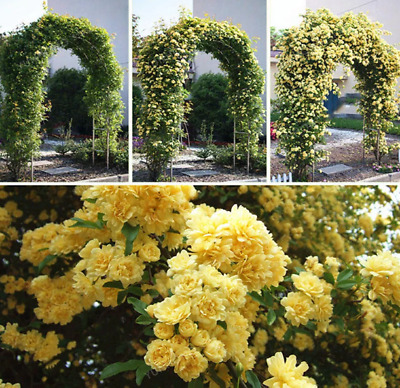 $5 • Buy 20Pcs Jasmine Flower Seeds Rare 2 Kinds Color Pereninal Bonsai Home Garden