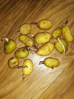 Baby Potato Seeds, 8 PCS Ready For Planting. • 5.99£