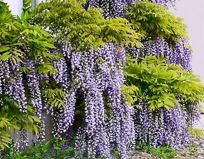 £2.94 • Buy 5 Seeds Wisteria Sinensis Wisteria Chinese Kidney