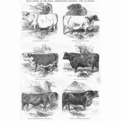 £12.95 • Buy EXETER Prize Cattle At The Royal Agricultural Society Show - Antique Print 1850