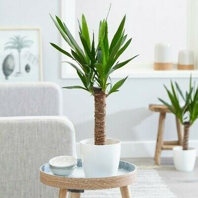 YUCCA ELEPHANTIPES SPINELESS INDOOR HOUSE PLANT AIR CLEANER 60-65cm In 2 L Pot • 8.59£
