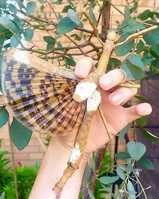 Giant Stick Insect • (Phasma Gigas), 10 EGGS - Feeder Food • 8£