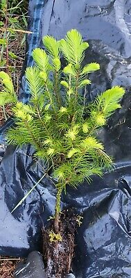 X3 Christmas Tree Plant Saplings( Norway Spruce).approx 10cm-30cm Plug Plants  • 11.95£