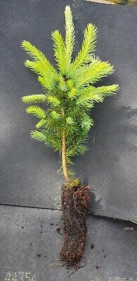 X3 Christmas Tree Plant Saplings( Norway Spruce).approx 20cm-30cm A Plug Plant  • 8.99£
