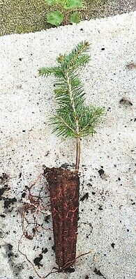 10X Nordmann Fir  Real  Living Christmas Tree, Cell Grown Plug Plants10-20CM.  • 24.99£