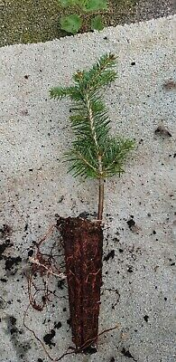 100x  Nordman Fir, Real  Living Christmas Tree, Cell Grown Plug Plants 10-25cm. • 149.99£