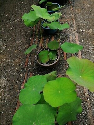 $ CDN6.20 • Buy 12 Seeds Lotus Flower Seeds,Nelumbo Nucifera,Nelum Seeds, Aquatic Seeds,Bonsai