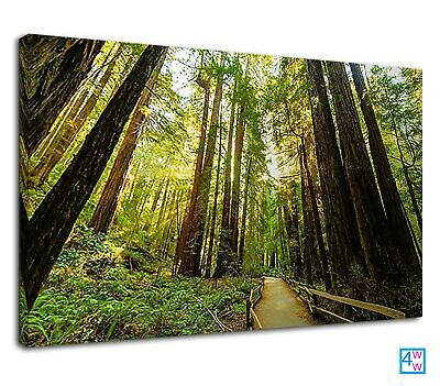 Redwood National Park America Sun Through The Tree Canvas Print Wall Art Picture • 38.99£