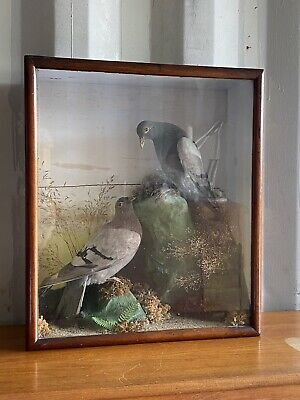 £225 • Buy Fabulous Antique Victorian Pigeon Taxidermy Display Case Decor